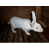 Продам кролики Рекс