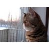 Продам персидскую кошку