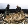 Продаю рыбу (пеленгас,     бычок,     ставрида,     камбала)    ,          морепродукты.
