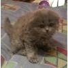 Продам 2-ух шотландских симпатичных котят