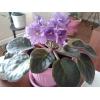 Продам цветущую фиалку