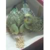 Продам малышей волнистых попугайчиков