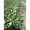 Продам оптом высококачественный арбуз с поля от 22 т