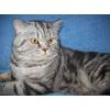 Шотландский прямоухий короткошерстный котик предлагает вязку