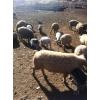 Прдам свино-овц