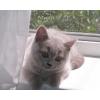 Продам клубного котенка-шотландский страйт