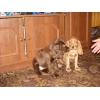 Продам щенков английского кокер-спаниеля