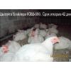 суточные и подрощенные цыплята бройлера КОББ-500